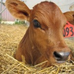 An adorable brown calf, nestled up in a bed of straw, looks at the camera.