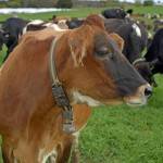 A beautiful red-brown cow donning a collar looks into the field.