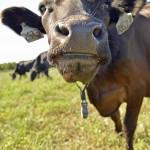 A cow sniffs the camera lens.