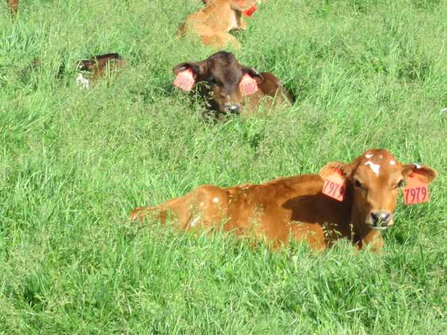 Calves on pasture.