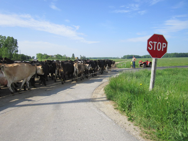 Our herd of cattle crosses the road into a fresh pasture.