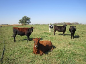 Our steers in their natural element: the pasture!