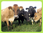 Cows in our pasture