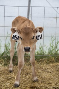 A fawn-colored calf stares at the camera.