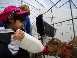A student feeding a calf
